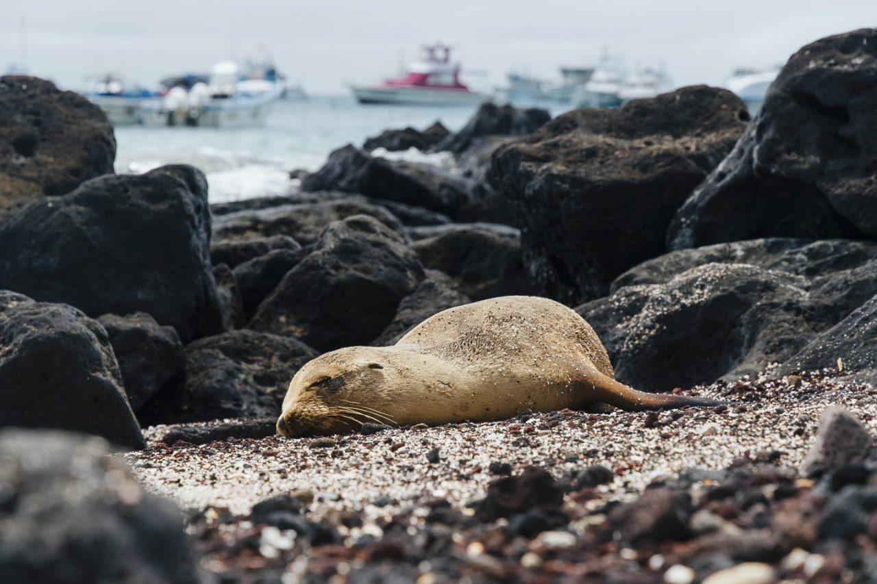 otarie au repos sur une plage de San Cristóbal, Galápagos